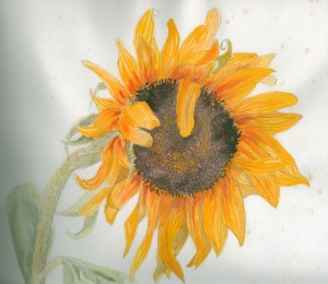 Sunflower (watercolour) - Illustration Gallery